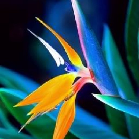 Bird_Of_Paradise