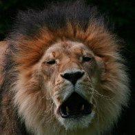 6804-LionsroarIMG_5548.jpg