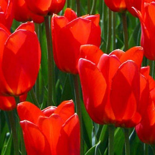 tulips-4469